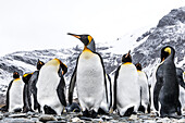 King penguins Aptenodytes patagonicus on a beach, South Georgia, South Georgia, South Georgia and the South Sandwich Islands, United Kingdom