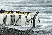 King penguins Aptenodytes patagonicusin Fortuna Bay, South Georgia, South Georgia and the South Sandwich Islands, United Kingdom