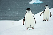 Chinstrap penguins Pygoscelis antarctica in a snowfall, Half Moon Island, South Shetlands, Antarctica