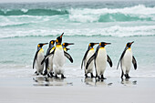 King penguins Aptenodytes patagonicus on a wet beach, Volunteer Point, East Falkland, Falkland Islands