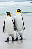 King penguin Aptenodytes patagonicus pair, Volunteer Point, East Falkland, Falkland Islands