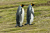 King penguin Aptenodytes patagonicus pair, Salisbury Plain, South Georgia, South Georgia and the South Sandwich Islands, United Kingdom