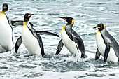 King penguins Aptenodytes patagonicus playing in the surf, Antarctica
