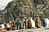 King penguins Aptenodytes patagonicus and juveniles, Antarctica