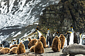 King penguins Aptenodytes patagonicus and juveniles with an Antarctic Fur Seal Arctocephalus gazella on the beach, Antarctica