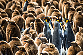 Colony of King penguins Aptenodytes patagonicus and juveniles, Antarctica