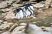 Rockhopper penguins Eudyptes walking in a row
