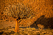 A Quiver tree, or Kokerboom, Aloe Dichotoma in Richtersveld National Park, South Africa