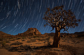 Star trails above a quiver tree kokerboom or aloe dichotoma in Richtersveld National Park, South Africa