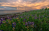 Sunset over Hecate Strait with purple flowers in the foreground, Haida Gwaii, British Columbia, United States of America