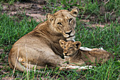 Lioness Panthera leo and her cub relaxing in the grass, Sabi Sand Game Reserve, South Africa