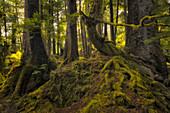 Lush rainforest, Haida Gwaii, British Columbia, Canada
