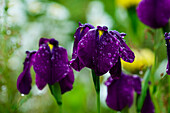 Irises bloom in the rain, Astoria, Oregon, United States of America