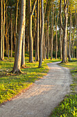 Path in beech forest in Nienhagen, Baltic Sea Coast, Mecklenburg-Western Pomerania, Northern Germany, Germany, Europe