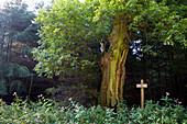 Hollow oak tree (Quercus robur) near Frankenau, Hesse, Germany, Europe