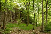 Walking track around Haina monastery through Stamford's garden with common hornbeam trees (Carpinus betulus) and sycamore maple trees (Acer pseudoplatanus) Haina, Hesse, Germany, Europe