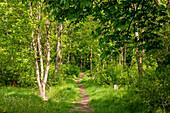 Walking track around Haina monastery through Stamford's garden through a forest of bahorn trees (Acer pseudoplatanus) Haina, Hesse, Germany, Europe