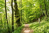 Track around Haina monastery through Stamford's garden, beside the path is a large old pedunculate oak (Quercus robur) amidst a forest of beech trees (Fagus sylvatica) Haina, Hesse, Germany, Europe