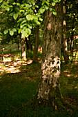 Shadows of beech leeves on the bark of a beech tree (Fagus sylvatica), Kellerwald-Edersee National Park, Lake Edersee, Hesse, Germany, Europe