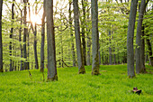 Stronger oak trees (Quercus petraea) in beech tree forest (Fagus sylvatica) with spring foliage near Bringhausen in Kellerwald-Edersee National Park, Lake Edersee, Hesse, Germany, Europe