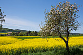 Blossoming apple tree in front of a yellow blooming canola field Zueschen, Fritzlar, Hesse, Germany, Europe
