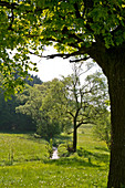 Young beech trees (Fagus sylvatica) grow along the banks of a field stream framed with an old oak tree (Quercus robur) near Frankenau, Hesse, Germany, Europe