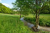 Young alder trees (Alnus glutinosa) grow along the banks of a field stream near Frankenau, Hesse, Germany, Europe