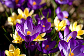 Violet and yellow crocus flowers blooming in early spring near Frankenau, Hesse, Germany, Europe