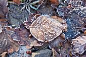 Frozen beech leaf near Frankenau, Hesse, Germany, Europe