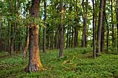 Oak forest, Quercus robur in the morning light, Nordhessen, Hesse, Germany, Europe