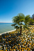 Blooming crocuses in flowerbed with palm tree, spring, Mainau Island, Flower Island, Constance, Lake Constance, Baden-Württemberg, Germany