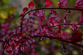 Colorful leaves of a bush in the autumn, Allgaeu, Bavaria, Germany