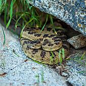 Rattlesnake coiled under rock