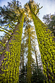 Low angle view of moss on forest trees