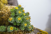 Plant at a rock, Faeroe Islands
