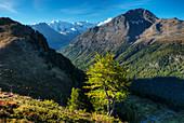 View from Alp Languard at the Bernina-Range with Piz Palu, Bellavista and Piz Bernina, Pontresina, Engadine, Canton Gr