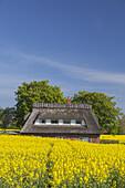Reetdachhaus im Rapsfeld, bei Nieby, Ostseeküste, Schleswig-Holstein, Norddeutschland, Deutschland, Europa
