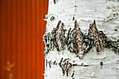 Ausschnitt eines Birkenstammes vor einer roten Wand