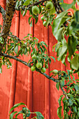 close up of green pears in front of a red wooden wall in Vimmerby, Smaland, Sweden