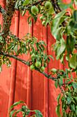 Close up von grünen Birnen vor einer roten Holzwand in Vimmerby, Smaland, Schweden