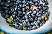 blueberries collected in a blue enamel pot,  Gavle bay, Gavleborgs Ian, Sweden