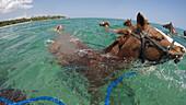 Swimming horses during Half Moon Resort horseback ride excursion along Sunrise Beach and in Caribbean Sea Rose Hall, near Montego Bay, Saint James, Jamaica