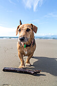 Australian Terrier waits with stick on beach, dog's life, South Island, New Zealand