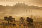 Tuscan landscape with a villa and cypress trees in the morning mist and sun, pasture with cows and olive trees in the foreground, San Quirico d'Orcia, Val d'Orcia, Siena Province, Tuscany, Italy