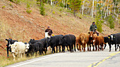 Cattle on its way down to winter meadows , Dixie National Forest , Utah , Arizona , U.S.A. , America
