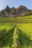 Vineyard underneath the rocks of Drachenfels in Koenigswinter, Middle Rhine Valley, North Rhine-Westphalia, Germany, Europe
