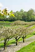 Apple blossom along the Nord-Ostsee-Kanal, Neuwittenbek, Schleswig-Hostein, Germany