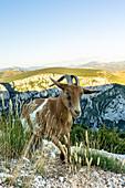 Wild goats in Verdon gorge, Provence-Alpes-Cote d'Azur region, Lac de Sainte-Croix, France