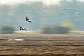 Wild birds, cranes landing in a field, abstract, flight study, bird migration, Autumn day, Fehrbellin, Linum, Brandenburg, Germany