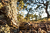 Turtle in the Evening Sun, Natural Habitat, Cork Forest, Cork Tree, Gorge of Blavet, Cote d'Azur, France